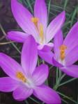 Obras de arte: Europa : España : Extremadura_Badajoz : Navalvillar_de_Pela : flores lilas