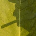 Obras de arte: America : Cuba : La_Habana : Vedado : Tabaco Verde