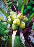 Obras de arte: America : Bolivia : Santa_Cruz-Bolivia : santa_cruz_de_la_sierra : cocotero1
