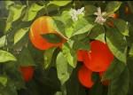 Obras de arte: Europa : España : Andalucía_Málaga : Málaga_ciudad : Naranjas de Carratraca
