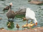 Obras de arte: America : Perú : Lima : la_molina : Family of Geese