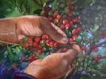 Obras de arte: America : Colombia : Santander_colombia : Bucaramanga : Recogiendo Cafe