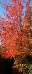 Obras de arte: America : Estados_Unidos : Iowa : Madrid_IA : el otoño en pekin