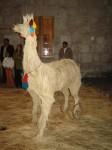Obras de arte: America : Perú : Arequipa : Arequipa_ciudad : llama
