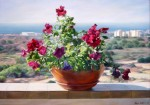 Obras de arte: Asia : Israel : Southern-Israel : Ashkelon :  Flowers on the balcony
