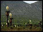 Obras de arte: America : México : Guanajuato : León_ciudad : Flor de desierto