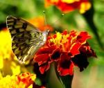 Obras de arte: America : Chile : Region_Metropolitana-Santiago : Las_Condes : mariposa en mi jardin foto